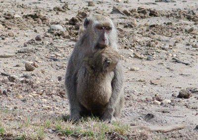 komodo island monkey